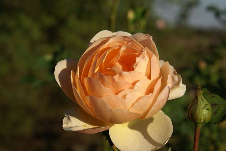 Jude The Obscure - Ludwigs Roses | It is vigorous and grows with strong arching main branches which carry stems with large flowers, resembling the typical English Rose shape; it is powerfully perfumed and of a colour which is a match to one of South Africa's favourite rose - 'Just Joey'. An exciting rose.