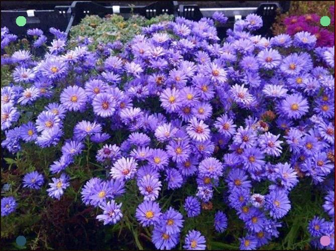 Aster Woman Dressed In Blue Shade Plants Perennials Outdoor Plants
