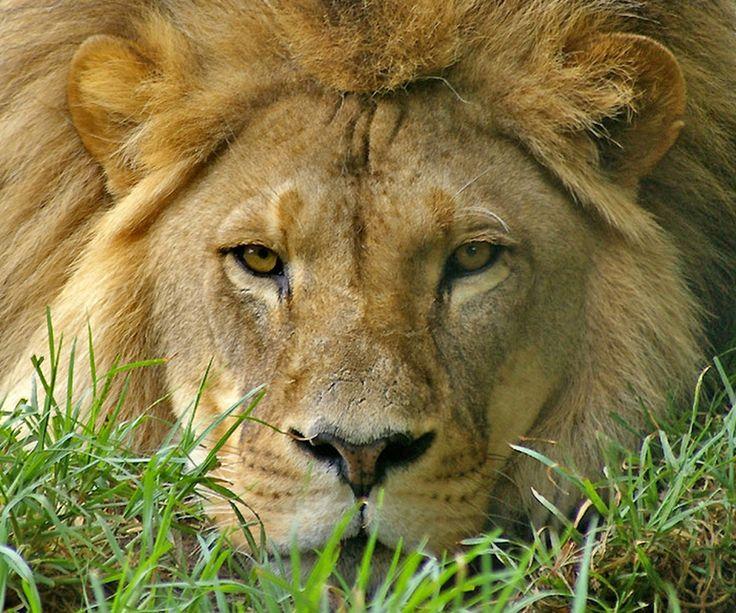 Black+Lion | animals face Lion Animals Other HD Wallpaper