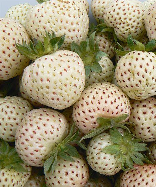 Nové jahody s chutí ananasu!  Jahodník ´Snow White´. Unikátní novinka v sortimentu jahod! Jahody s intenzivní chutí po čerstvém ananasu! Rostliny jsou přirozeně zdravé a odolné, můžete je pěstovat pro děti i pro sebe bez postřiků. Bohatá a vyrovnaná plodnost.