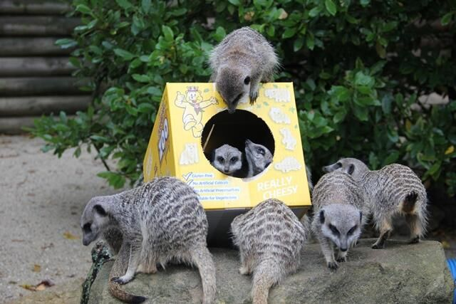 Our #Meerkats with @PomBear4 and the new Zoo Friends crisps! Don't worry the Meerkats didn't eat any!  pic.twitter.com/RsHuAgqUls