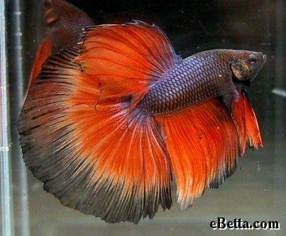 Black and Orange Betta Super Delta