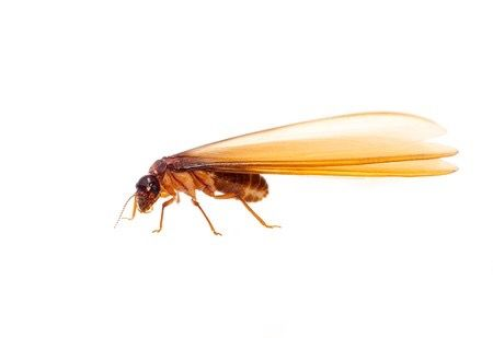 A flying termite, very prevalent in Sydney at this time of year
