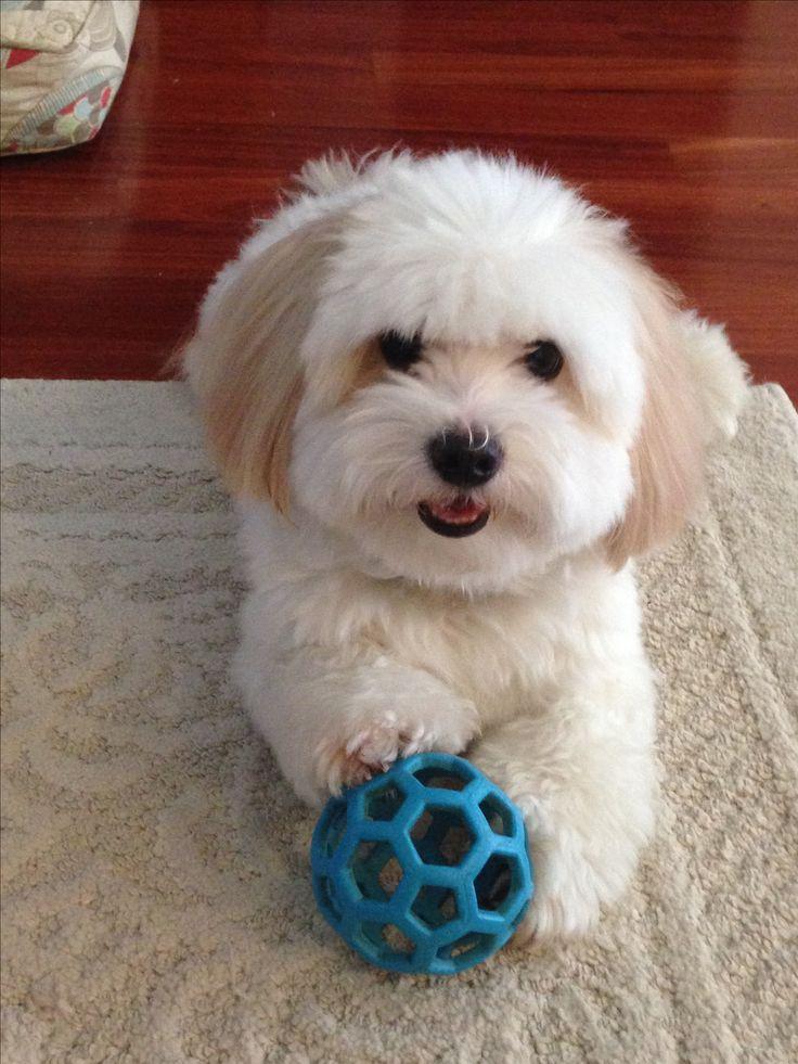Beau and his favorite toy. Toda la información y productos especializados para el la raza perro maltés