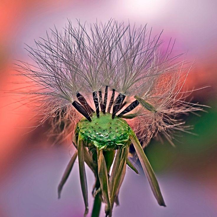 Dandelion-2 (seeds)  by Loscar