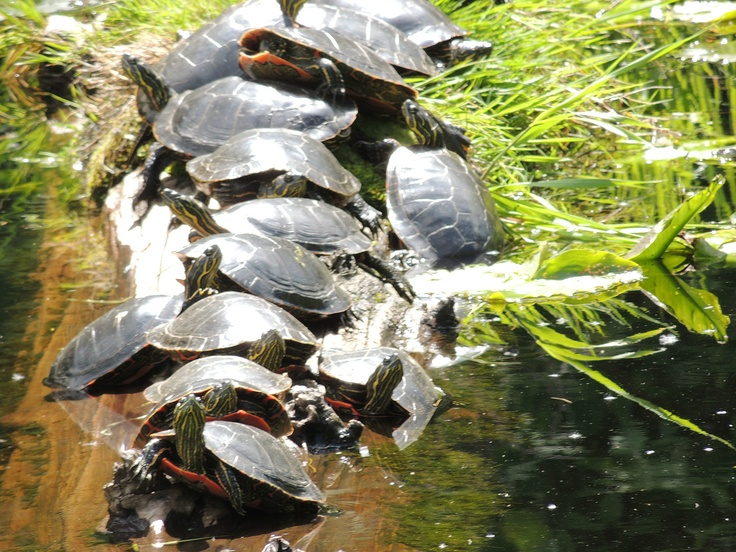 Bunches Of Turtles