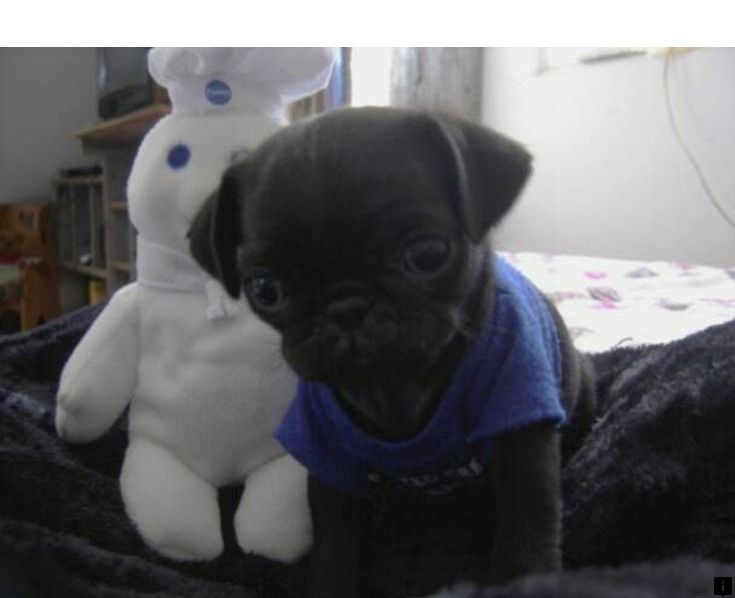 Check Out The Webpage To Read More About Buy A Pug Click The Link