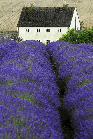 Oh look at this Snowshill lavender farm in Gloucestershire I LOVE THIS I want that cottage (Darrell Godliman flickr)