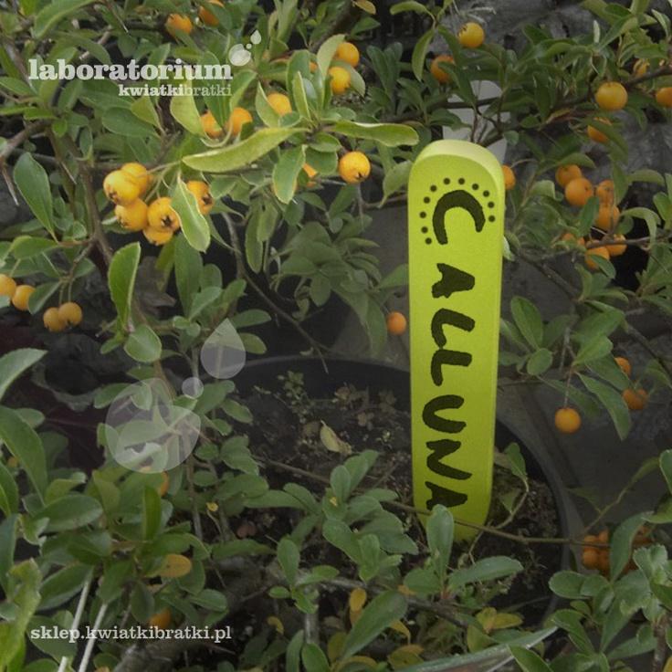 Kolorowy patyczek do oznaczania. Dodaje uroku, wprowadza urozmaicenie i podnosi estetykę domowej uprawy.    https://sklep.kwiatkibratki.pl/shop-2/dla-dzieci-2/patyczki-do-oznaczania-roslin-male-2x13cm/