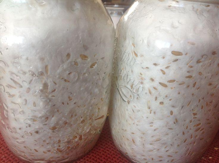 Oyster mushroom mycelium growing very expensive gourmet mushroom snow white mycelium and - Growing oyster mushrooms profit ...