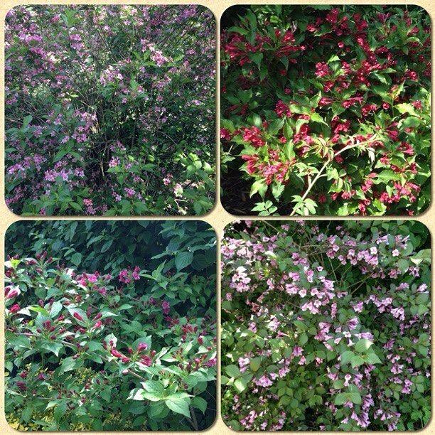 Weigelia - voriges Jahr hatten alle 4 Sträucher fast keine Blüten. Heuer? VOLLER BLÜTEN!!!!!! #blueten #blüten #garten #igers #igersoftheday #igersaustria #ig_austria #igersworldwide #igersvienna #moldiv #instagram #natur #nature #picoftheday #pictureoftheday #photooftheday #sonne #vienna #wien #weigelia by kaju191