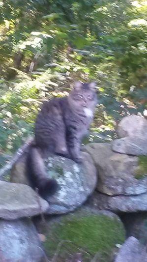 Found Cat Found Cat in Gales Ferry, CT USID# 108266  Tabby Gray (gray/silver/blue) Cat Gales Ferry (06335) Found on 10/12/2015
