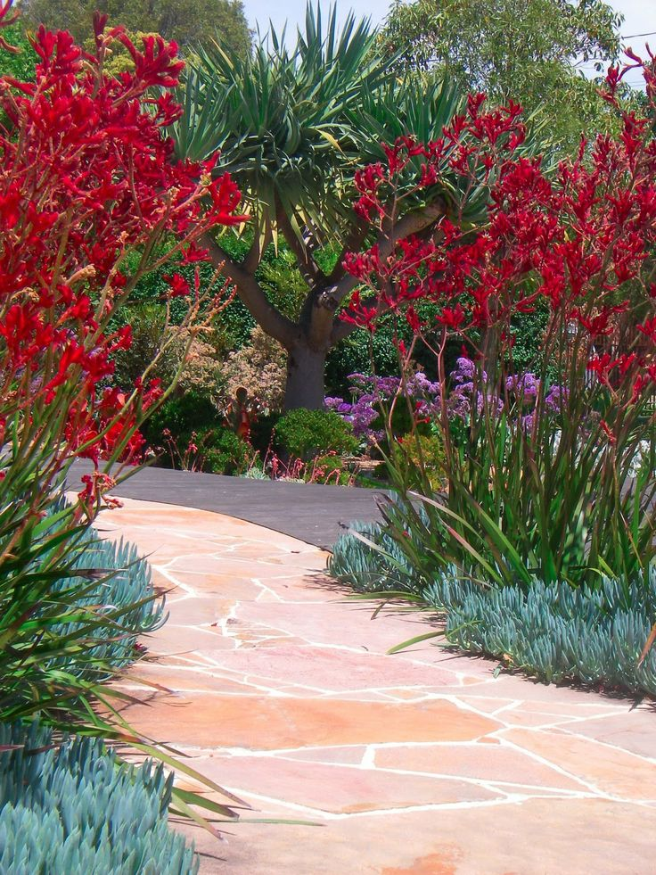 red kangaroo paw and blue chalk sticks - great combination