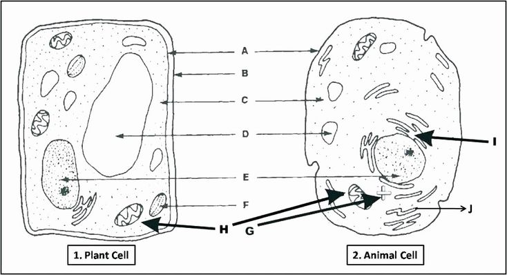 Printable Animal Cell Diagram Animal Cell Coloring Page ...