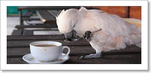 Cockatoo with a cup of coffee - Artwork