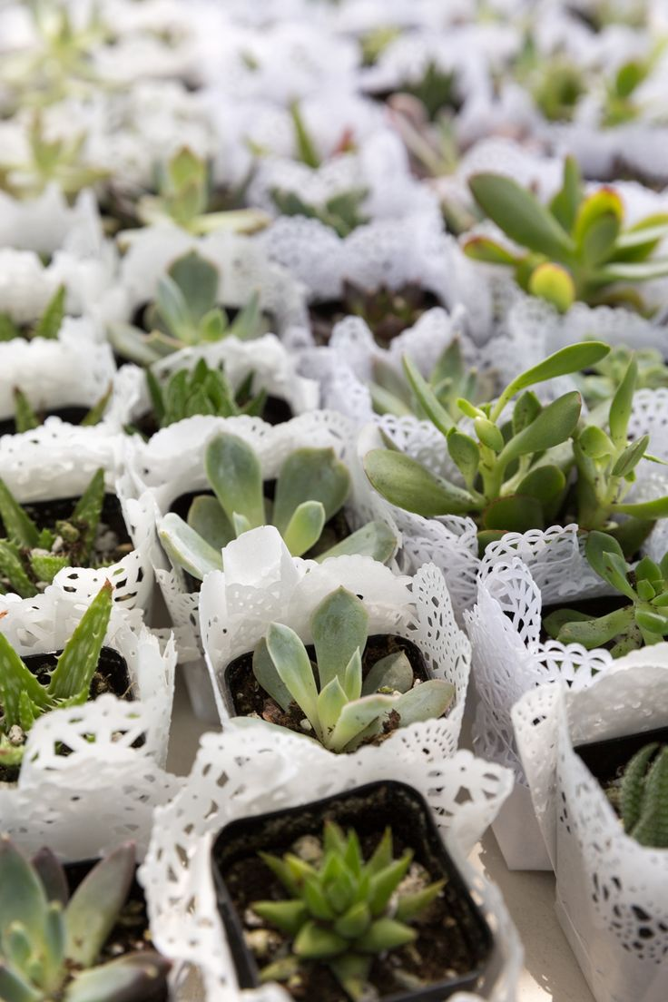 Our customer, Samantha, wrapped our succulents with doilies and they were lovely. Thank for sharing this photo of your gorgeous wedding favors. Photo credit - Adrian Henson Photography