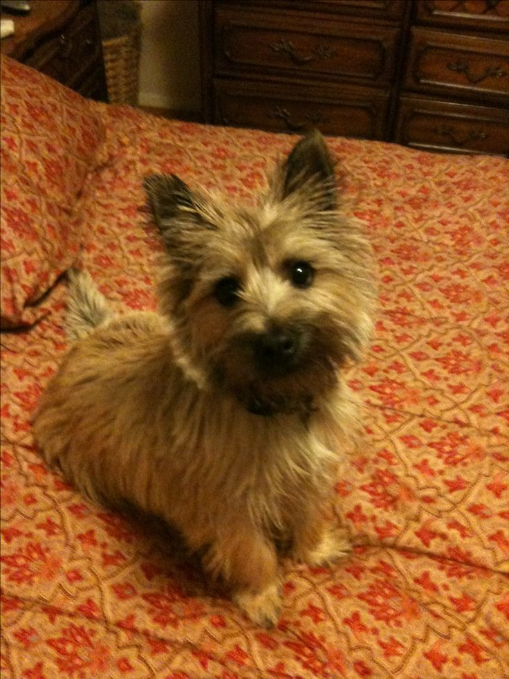 Oliver the Cairn terrier :)