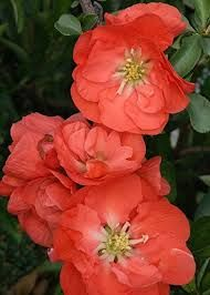 Image result for Double Take ™ Chaenomeles 'Orange Storm' PPAF - Flowering Quince - Proven Winners