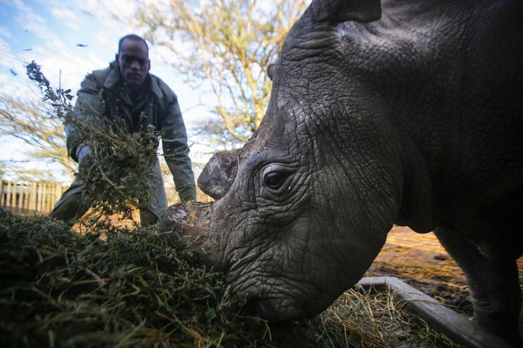 last remaining male northern white rhinoceros on the planet, is fed by a caretaker at Ol Pejeta.