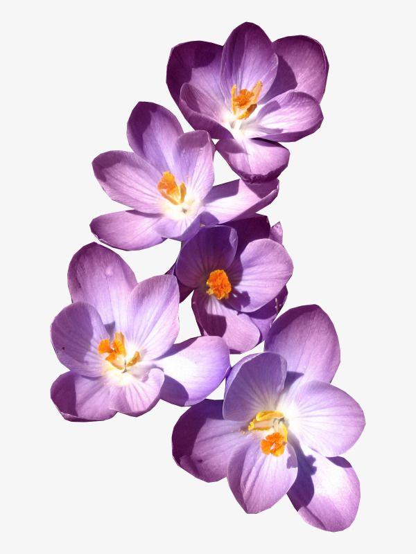 Сиреневые цветы картинки на прозрачном фоне