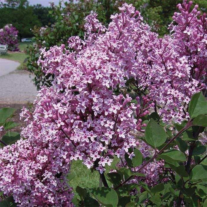 25 Best Ideas About Dwarf Lilac Tree On Pinterest Dwarf