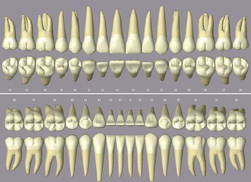 Zahnwurzel – Wikipedia