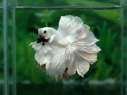 Best of Aquabid! - Betta Fish Forums