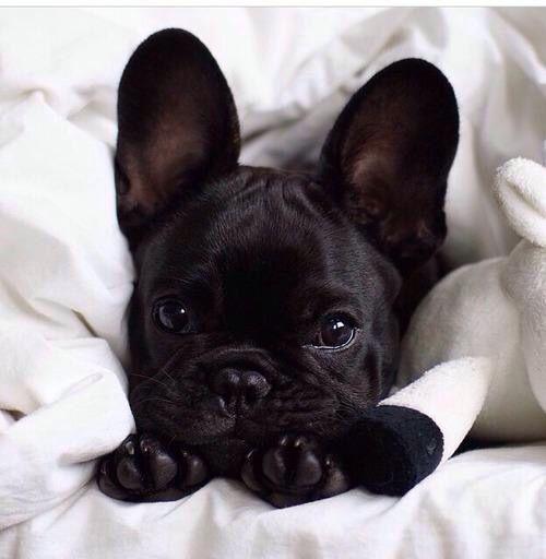 Buldog francese una delle mie razze preferite anche se adoro tutti cani