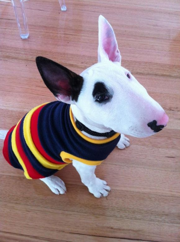 mini Bull Terrier. Would definitely love to adopt one someday. I mean look at this guy! Too cute.