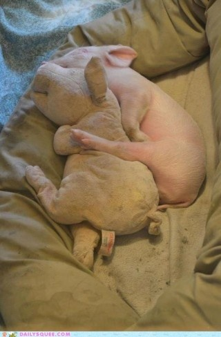 Piggy cuddling with a piggy!: Piglets, Little Pigs, Sweet, Teacup Pigs, Minis Pigs, Baby Pigs, Baby Animal, Piggy, Pet Pigs