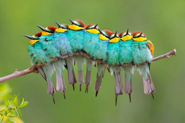 European Bee-eater (gruccione), Wild Wonders of Europe http://en.wikipedia.org/wiki/European_Bee-eater