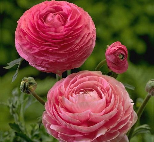 Large, double and semi-double flowers. Ranunculus asiaticus: This plant grows with long straight stems, makes a great cut flower and blooms in an array of mouthwatering shades. Hardy in zones 8-10 or