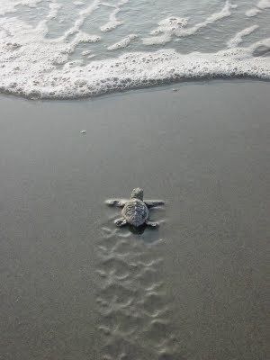 Baby turtle making its way to the sea :)