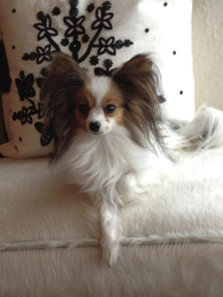 Gorgeous papillion I plan to get my self one of these sweet little dogs sometime soon.