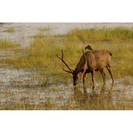 Sambar Deer Ranthambhore NP Rajasthan India Canvas Art - Pete Oxford DanitaDelimont (36 x 24)