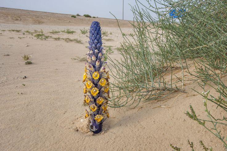 Plante parazitare Pustacul deșert (Cistanche tubulosa) cu plante gazdă Haloxylon salicornicum în nisip vânturat pe marginea drumului Salwa Road din zona Khashem Al Nekhsh. Sudul Qatar