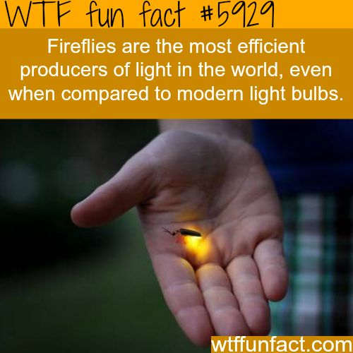 WTF Facts : funny, interesting & weird facts : Fireflies