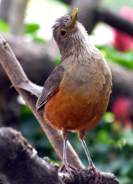 Pássaros do brasil: o canto do sabia laranjeira, sabiá-laranjeira  Turdus rufiventris