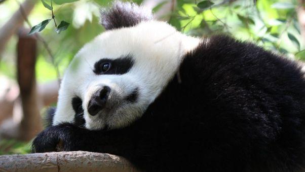 Wallpaper panda, spots, branch, sit
