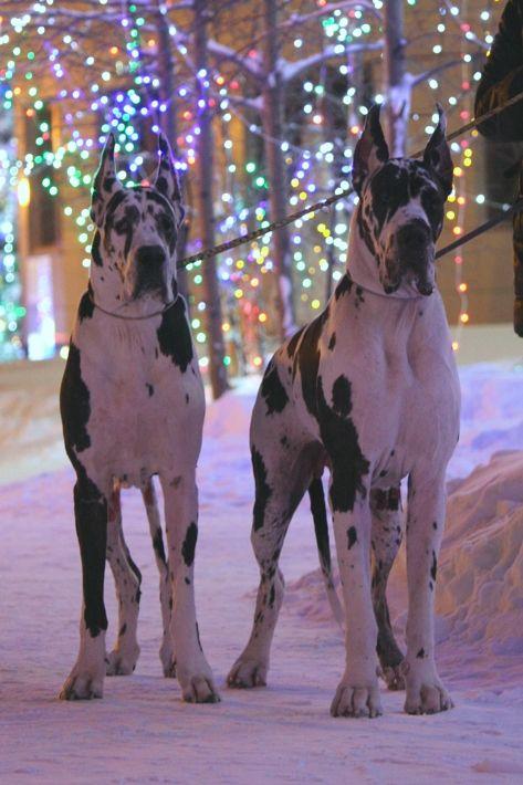 Walking in the winter wonderland! #dogs #pets #HarlequinGreatDanes Facebook.com/sodoggonefunny