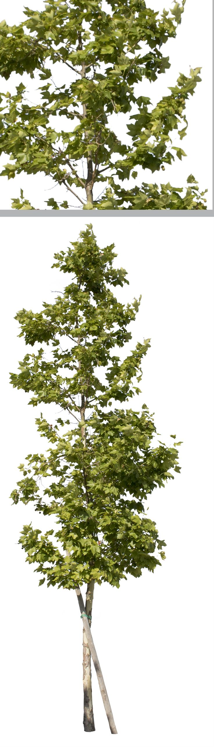 FREE DOWNLOAD FOR 10 DAYS.  1863 X 4079 Pixels. PNG. Transparent background.  Platanus occidentalis Small plane tree.