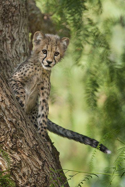 ~~Cheetah Cub | San Diego Zoo Global~~