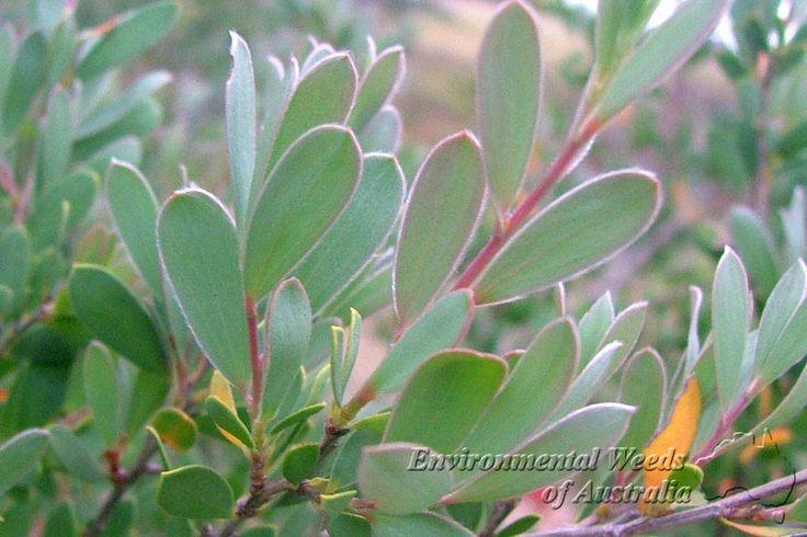 Factsheet - Leptospermum laevigatum
