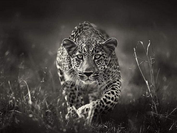 Animal Portraits By British Wildlife Photographer George: 2026 Best Beautiful Predators Images On Pinterest