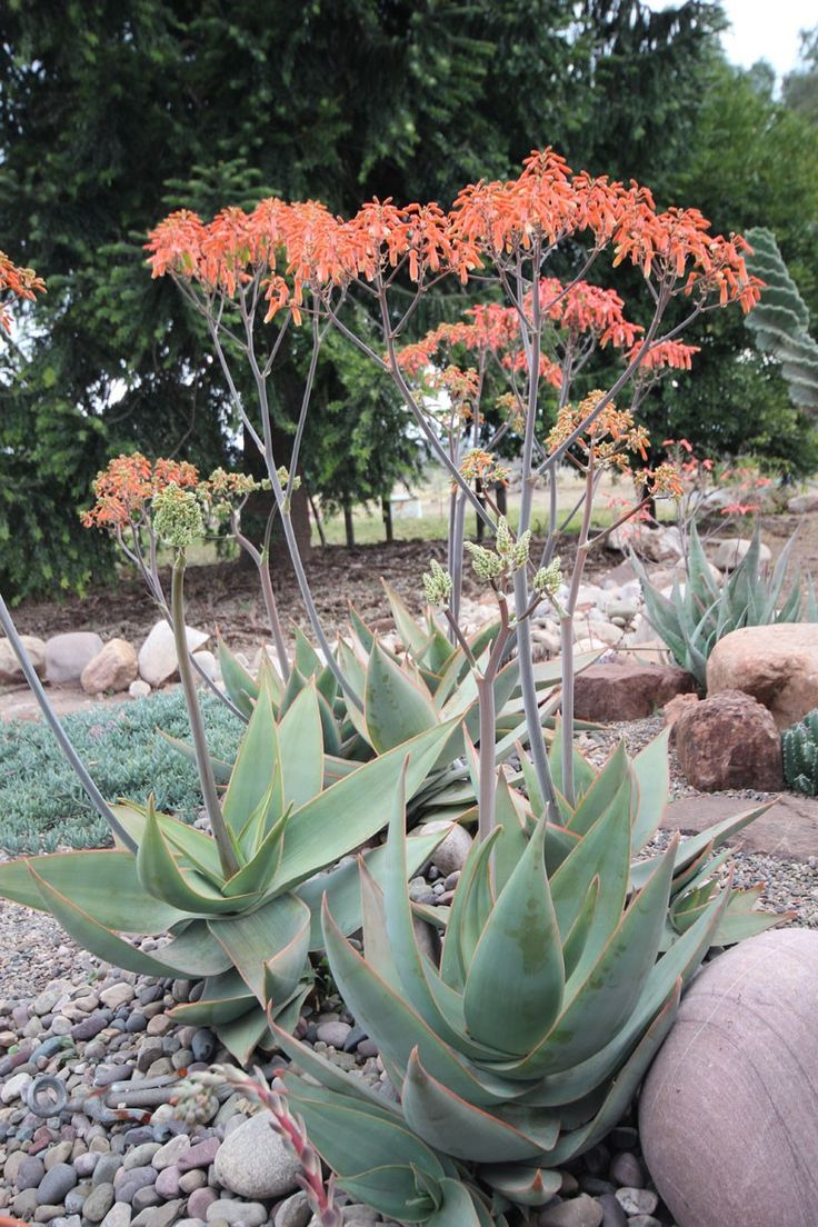 Aloe striata: for interest and winter blooms