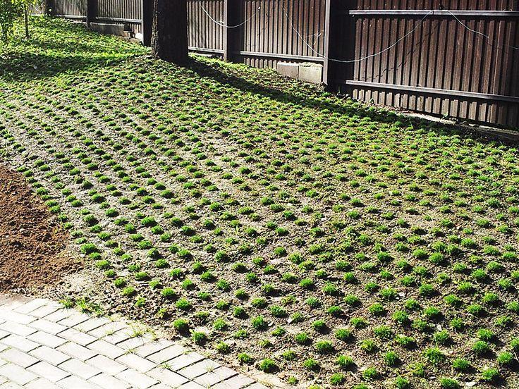Мшанка (ирландский мох) - Ландшафтный дизайн в Минске