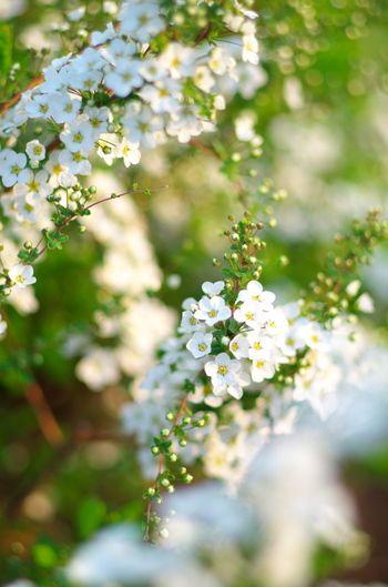 Япония считается происхождение, но, в эти дни, Тока в некоторых районах, снижение было волновались.  Язык цветов, как и следовало ожидать, которого вы трудно цвести, и отражено в храбрых (^. ^)