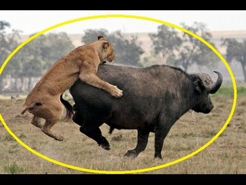 Unbelievable! Lions Attack Buffalo - Caught in the act