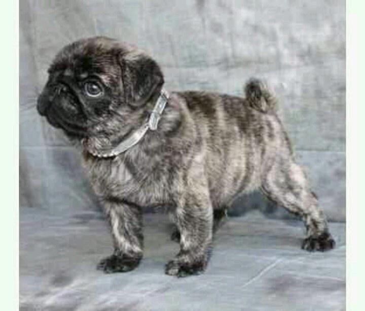 Brindle pug puppy