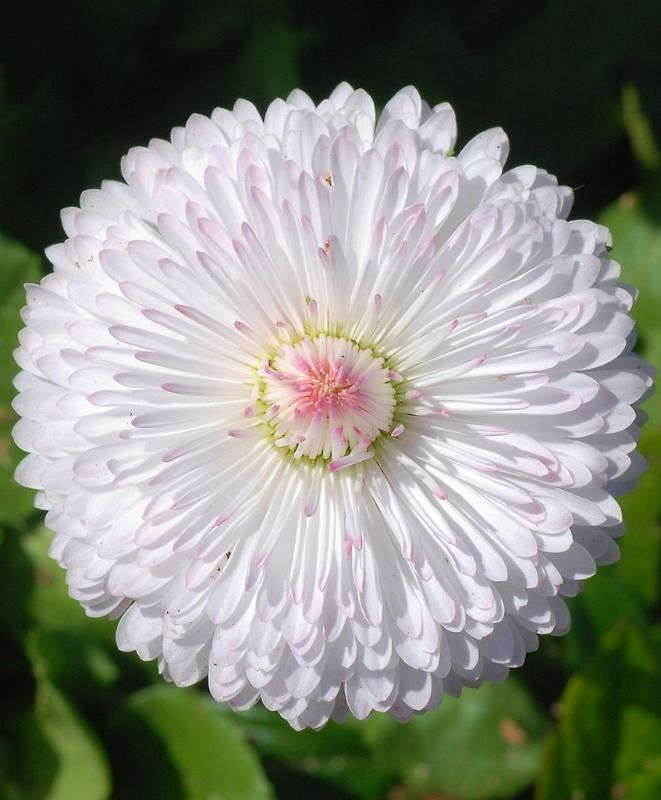 ~English Daisy (Bellis perennis), white flower with hints of pink